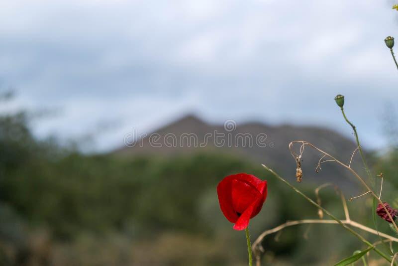 Ciérrese para arriba de una flor de la amapola y de una hierba salvaje seca fotografía de archivo libre de regalías