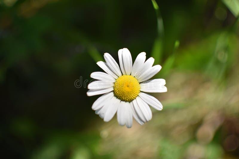 Ciérrese para arriba de una flor de la margarita aislada fotos de archivo