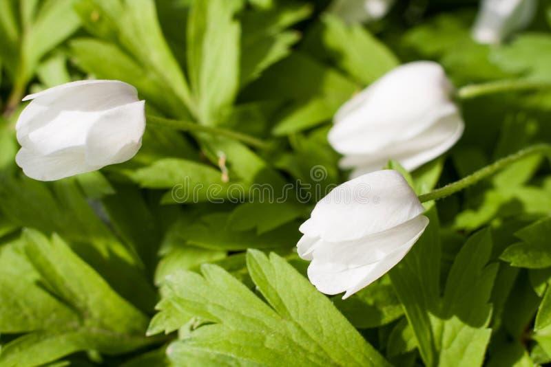 Ciérrese para arriba de una flor de la primavera imagen de archivo
