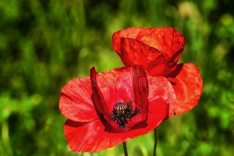 Ciérrese para arriba de una flor roja de la amapola foto de archivo libre de regalías