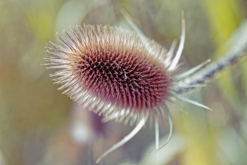 Ciérrese para arriba de una flor seca del cardo en el jardín al día soleado imagen de archivo libre de regalías