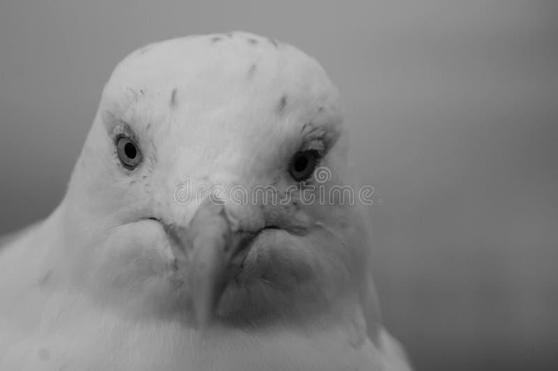 Ciérrese para arriba de una gaviota fotos de archivo