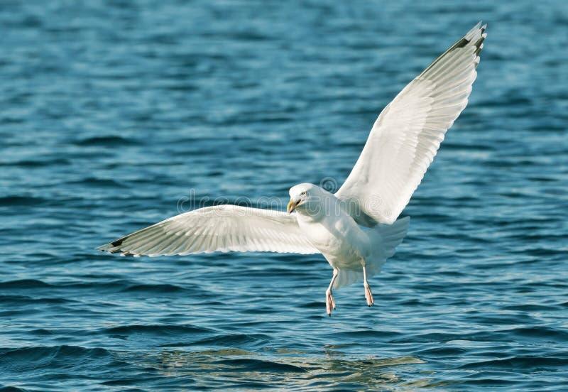 Ciérrese para arriba de una gaviota de arenques en vuelo fotos de archivo libres de regalías