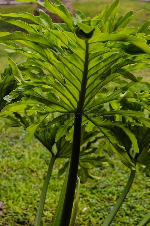 Ciérrese para arriba de una hoja grande de una palmera, contra luz del sol imagen de archivo libre de regalías