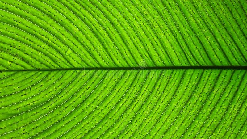 Ciérrese para arriba de una hoja verde con las líneas oscuras o las venas fotos de archivo libres de regalías
