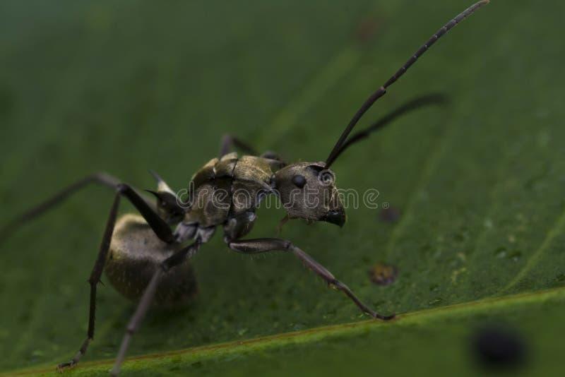 Ciérrese para arriba de una hormiga negra fotos de archivo libres de regalías
