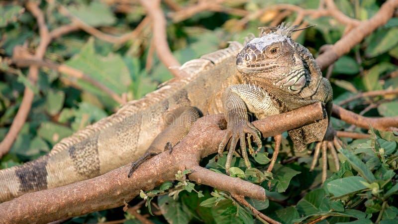 Ciérrese para arriba de una iguana verde enorme es permanente y de reclinación sobre la rama del árbol fotografía de archivo