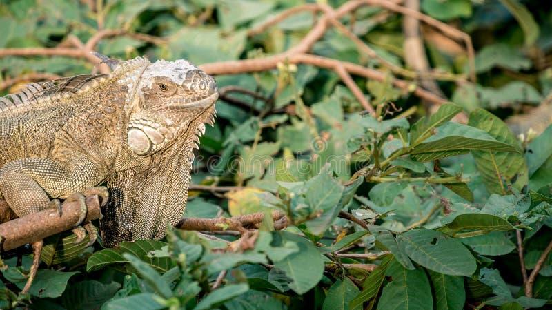 Ciérrese para arriba de una iguana verde enorme es permanente y de reclinación sobre la rama del árbol foto de archivo