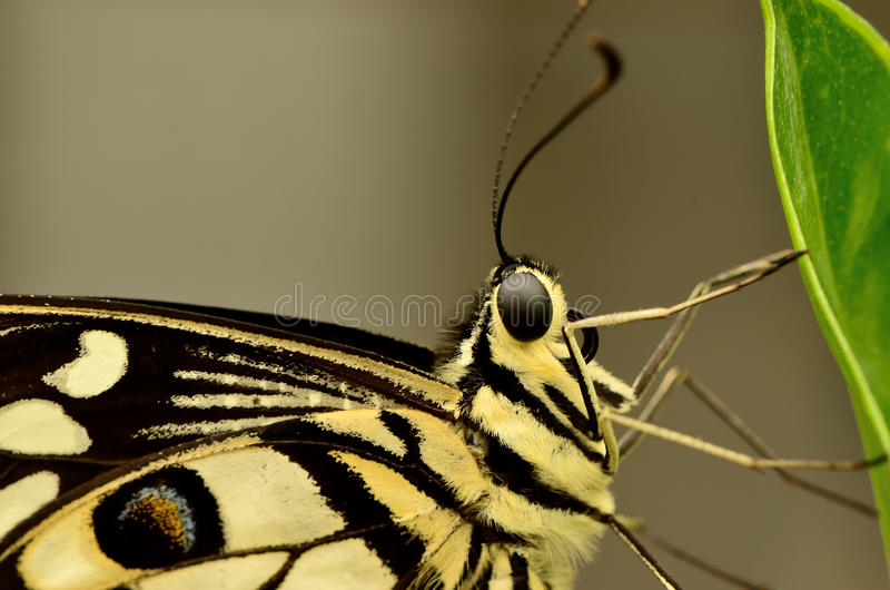 Ciérrese para arriba de una mariposa amarilla y negra hermosa imagen de archivo