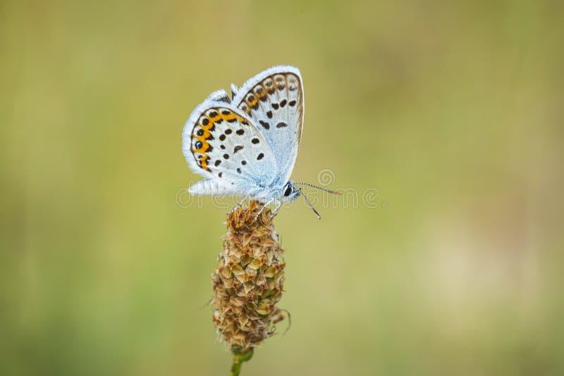 Ciérrese para arriba de una mariposa azul plata-tachonada Plebejus argus imagen de archivo libre de regalías