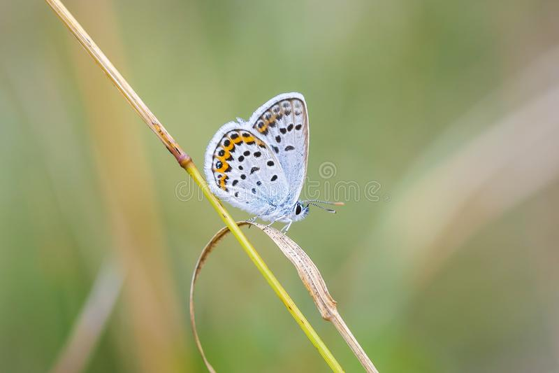Ciérrese para arriba de una mariposa azul plata-tachonada Plebejus argus foto de archivo libre de regalías