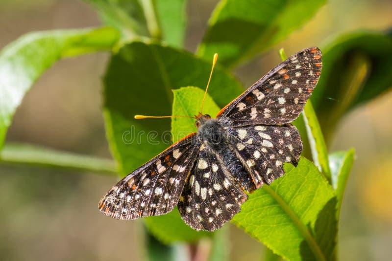 Ciérrese para arriba de una mariposa variable del checkerspot imagen de archivo libre de regalías