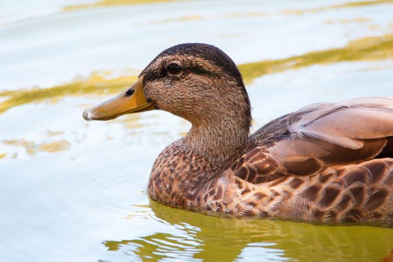 Ciérrese para arriba de una natación femenina marrón del pato del pato silvestre imágenes de archivo libres de regalías