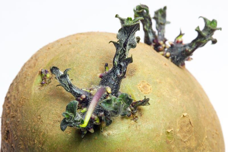 Ciérrese para arriba de una patata del brote. imagen de archivo libre de regalías