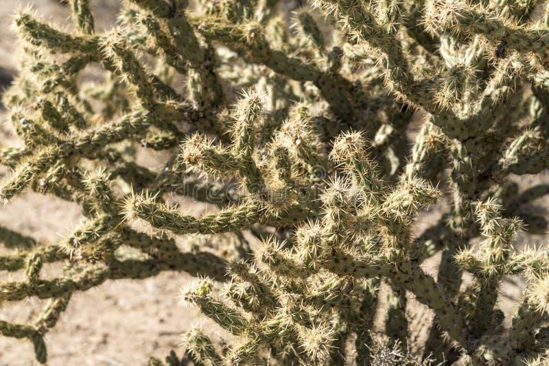 Ciérrese para arriba de una planta en Joshua Tree Forest de Arizona imagenes de archivo