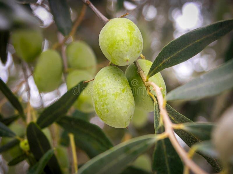 Ciérrese para arriba de una rama con las aceitunas en el olivo fotos de archivo libres de regalías