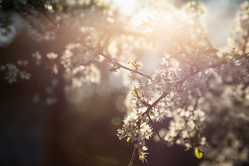 Ciérrese para arriba de una rama con las pequeñas flores y luz blancas en el fondo foto de archivo libre de regalías