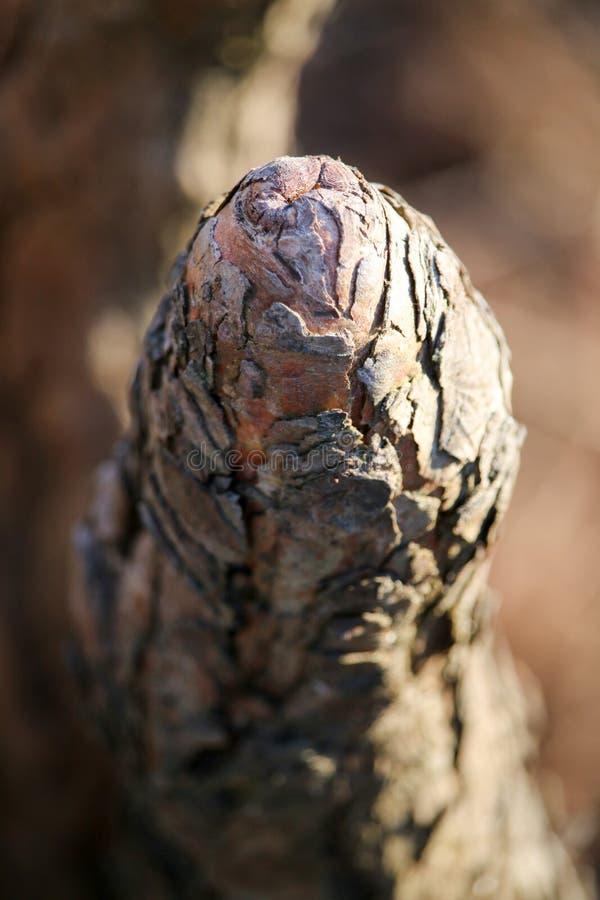 Ciérrese para arriba de una rodilla de Cypress imagen de archivo