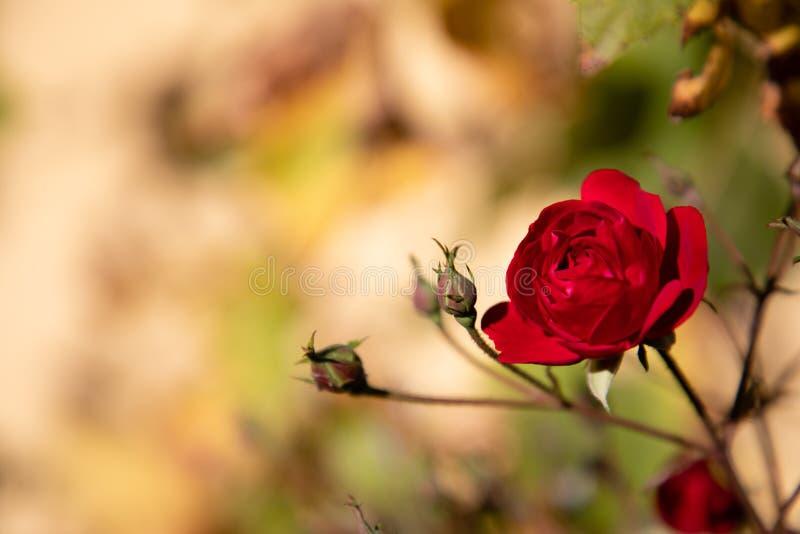 Ciérrese para arriba de una rosa roja con el fondo de oro de la naturaleza foto de archivo