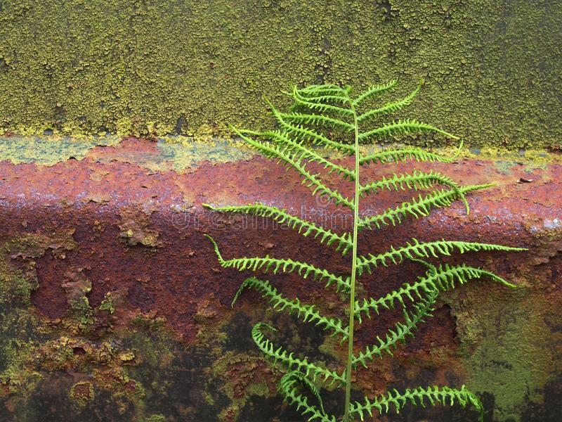 Ciérrese para arriba de una vieja superficie de acero oxidada cubierta en musgo y algas verdes con un helecho que crece contra si imágenes de archivo libres de regalías