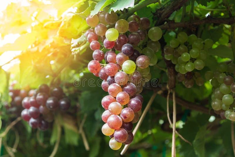 Ciérrese para arriba de viñedo con las uvas maduras foto de archivo