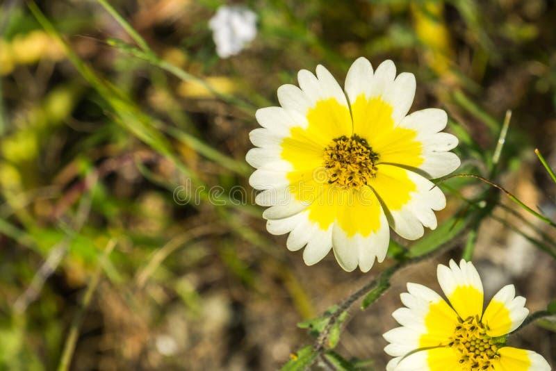 Ciérrese para arriba de wildflowers del platyglossa del Layia, comúnmente llamado tidytips costero, California foto de archivo libre de regalías