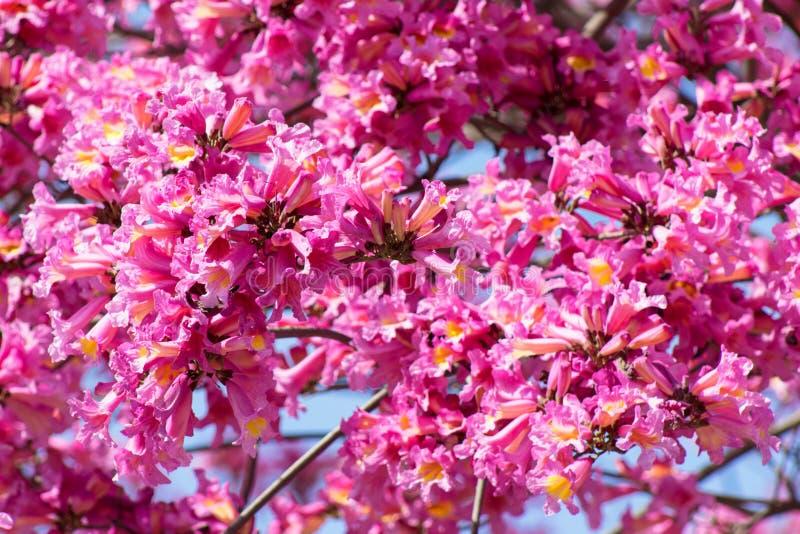 Ciérrese para arriba del árbol rosado con volantes de Tabebuia en la plena floración, flores de trompeta acampanadas, Tabebuia Ro fotos de archivo libres de regalías