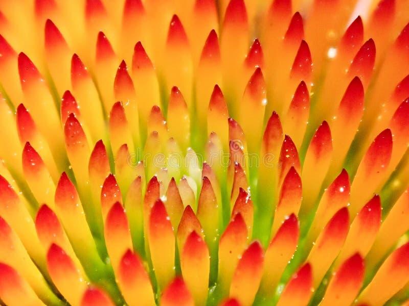 Ciérrese para arriba del brote de flor del cono fotos de archivo libres de regalías