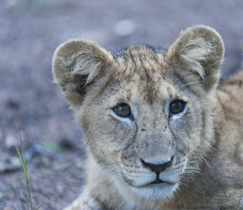 Ciérrese para arriba del cachorro de león que se sienta solamente imagen de archivo libre de regalías