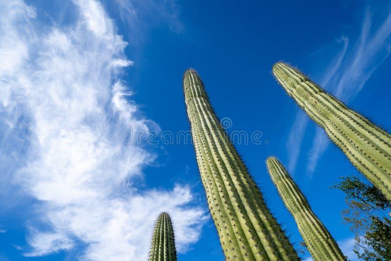 Ciérrese para arriba del cactus del tubo de órgano en Arizona, mirando para arriba a un cielo azul con las nubes, en el monumento fotos de archivo