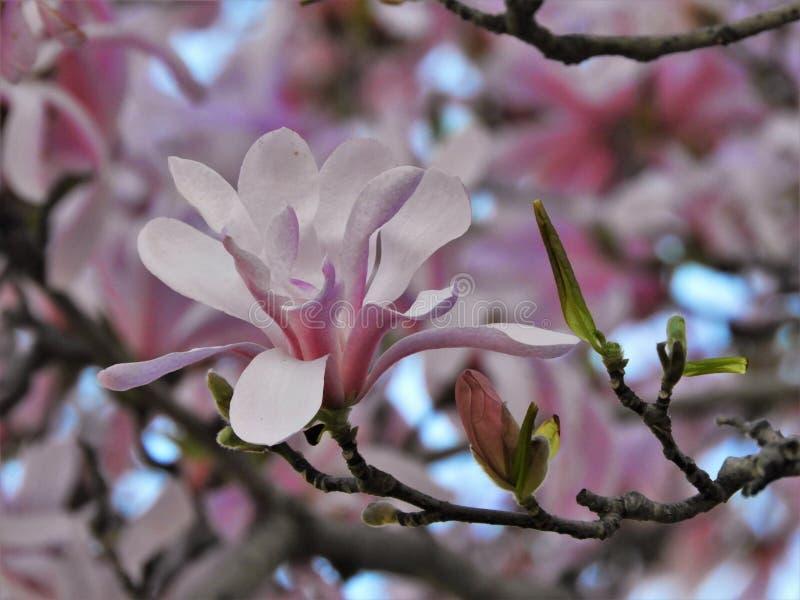Ci?rrese para arriba del flor rosado de la magnolia en ?rbol fotos de archivo libres de regalías