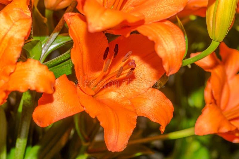 Ciérrese para arriba del foco selectivo de lirios tigrados anaranjados hermosos fotos de archivo