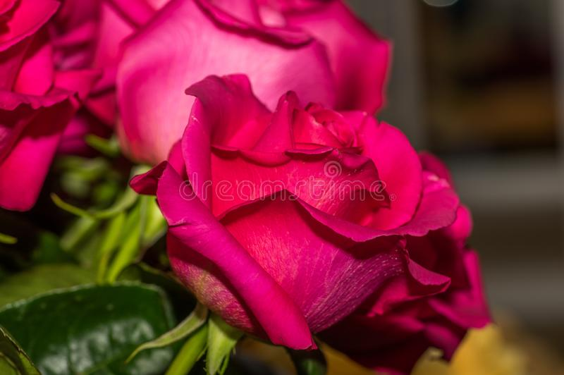 Ciérrese para arriba del foco selectivo del detalle de pétalos de la rosa rosada hermosa imagenes de archivo