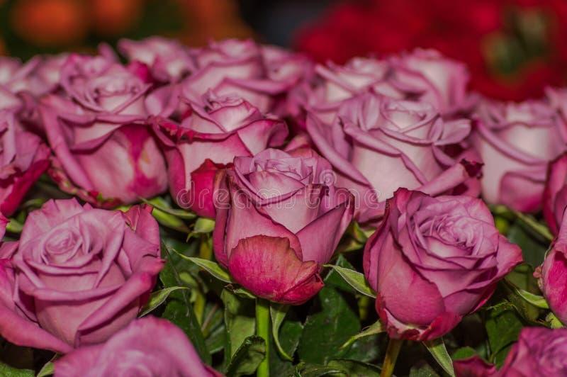 Ciérrese para arriba del foco selectivo del detalle de pétalos de la rosa rosada hermosa fotografía de archivo