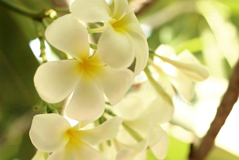 Ciérrese para arriba del frangipani amarillo blanco de la flor del plumeria que florece en el jardín foto de archivo
