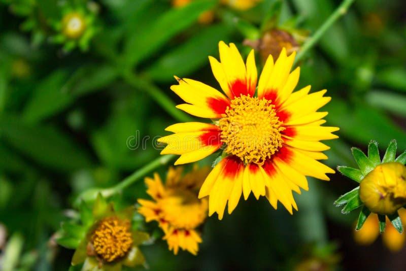 Ciérrese para arriba del Gaillardia spp Flor combinada fotografía de archivo