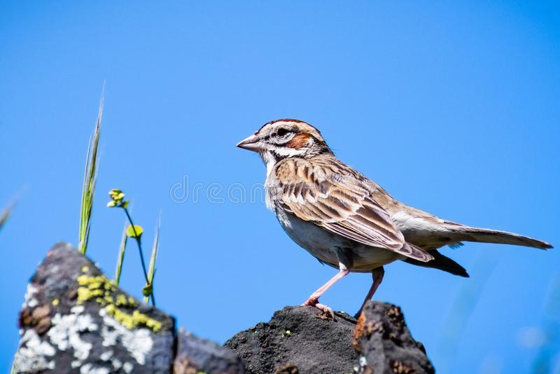 Ciérrese para arriba del grammacus de Lark Sparrow Chondestes encaramado en una roca; fondo del cielo azul, reserva ecológica de  foto de archivo