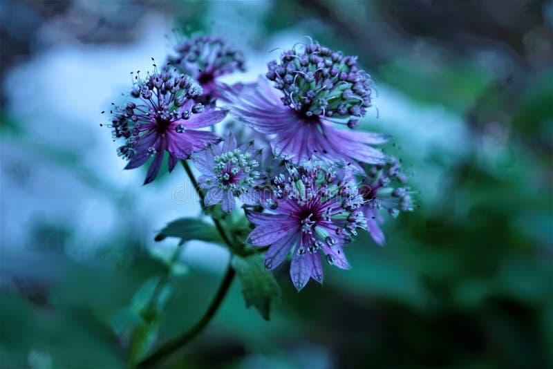 Ciérrese para arriba del gran flor del masterwort imagenes de archivo