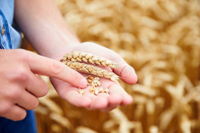 Ciérrese para arriba del granjero Checking Wheat Crop en campo foto de archivo