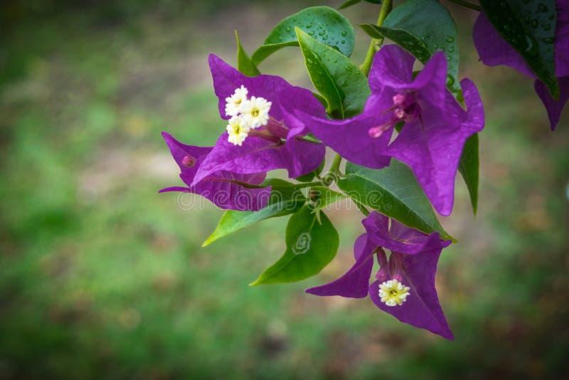 Ciérrese para arriba del grupo hermoso de flores púrpuras foto de archivo
