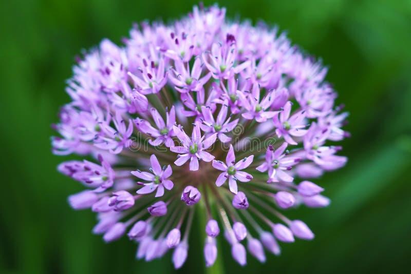 Ciérrese para arriba del hollandicum ornamental púrpura floreciente del allium de la cebolla imagen de archivo