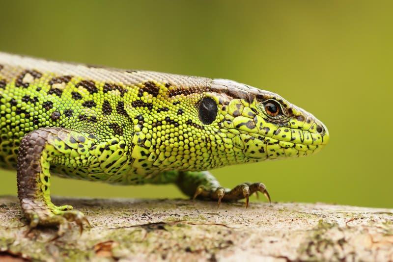 Ciérrese para arriba del lagarto de arena masculino imagen de archivo libre de regalías