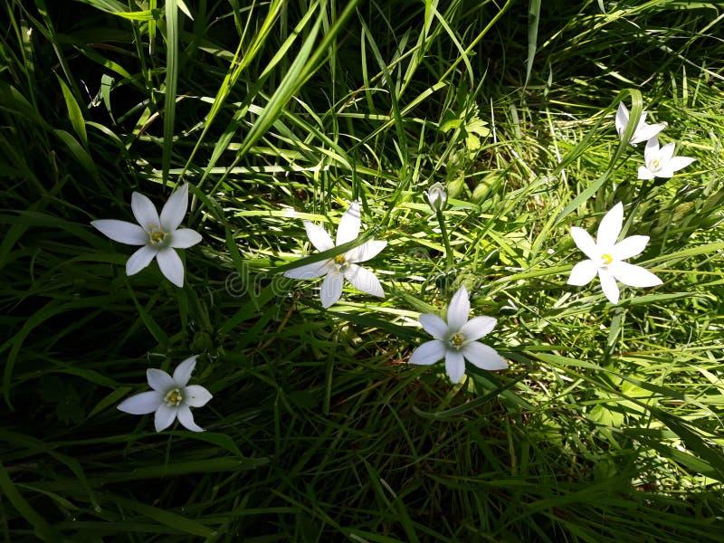 Ciérrese para arriba del lirio blanco de la lluvia, flores de la candida de Zephyranthes fotografía de archivo libre de regalías