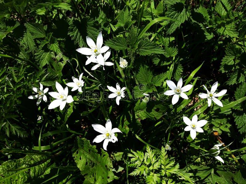 Ciérrese para arriba del lirio blanco de la lluvia, flores de la candida de Zephyranthes imagenes de archivo