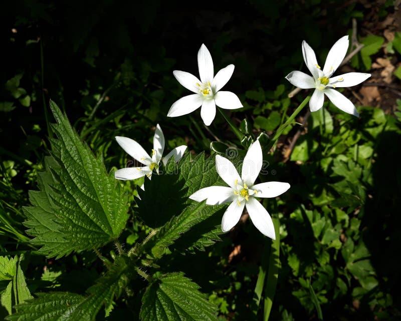 Ciérrese para arriba del lirio blanco de la lluvia, flores de la candida de Zephyranthes foto de archivo libre de regalías