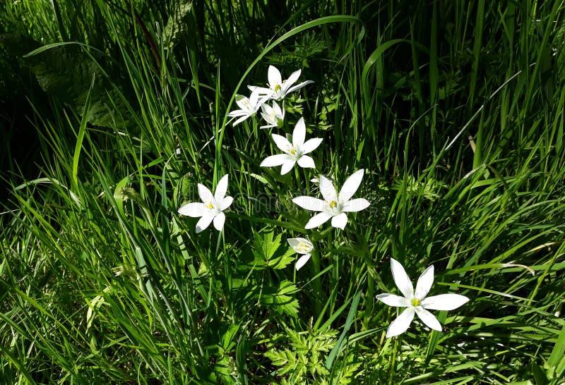 Ciérrese para arriba del lirio blanco de la lluvia, flores de la candida de Zephyranthes fotografía de archivo