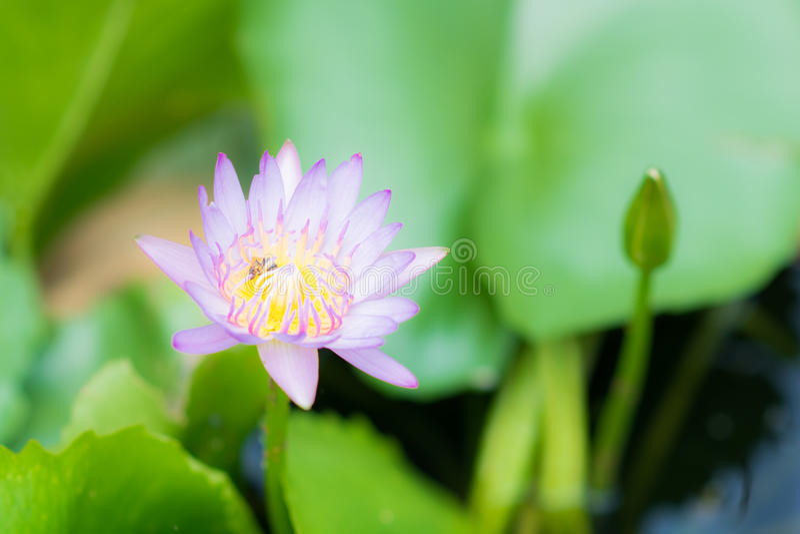 Ciérrese para arriba del loto púrpura, abeja imagenes de archivo
