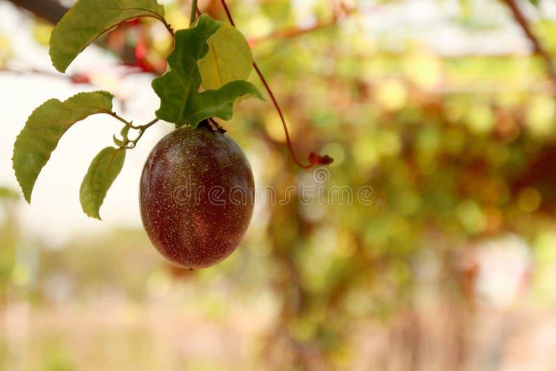 Ciérrese para arriba del maracuya o del maracuja púrpura de la fruta de la pasión que cuelga en el jardín con el fondo de la falt fotografía de archivo
