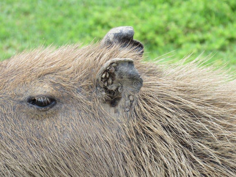 Ciérrese para arriba del oído del capybara, llenado de las señales imagenes de archivo