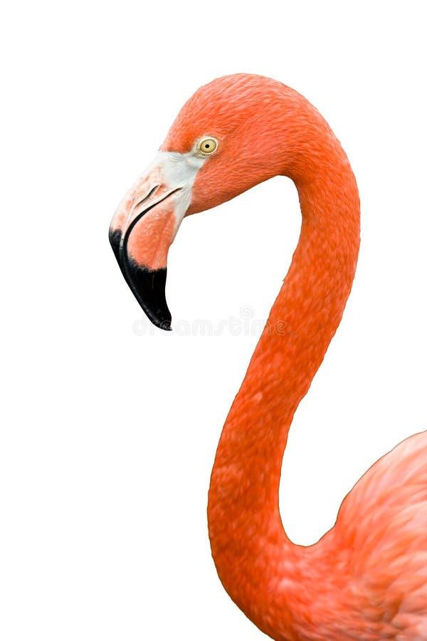 Ciérrese para arriba del pájaro rosado del flamenco aislado imágenes de archivo libres de regalías